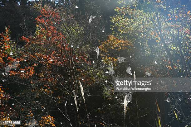 Spider nests appear on autumn leaves tree on October 24 2014 in Asago Japan According to Japanese weather forecasting company Weather News due to the...