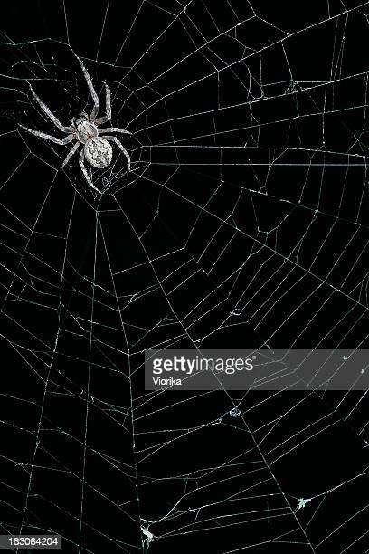 Spider on his web