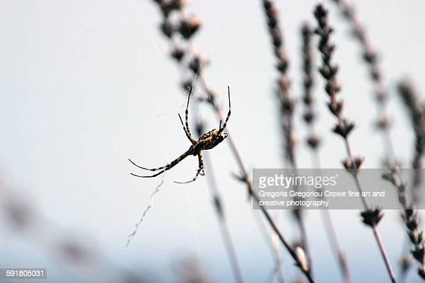 spider on lavender - gregoria gregoriou crowe fine art and creative photography - fotografias e filmes do acervo