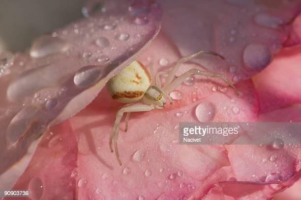 spider on rose with dew drops, close-up - wasserform stock-fotos und bilder