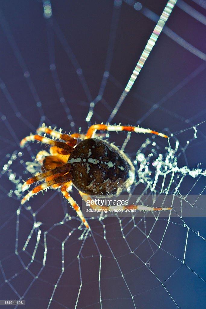 Spider on spider web : Stock Photo