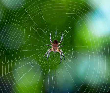 Spider on the web over green background 175948666