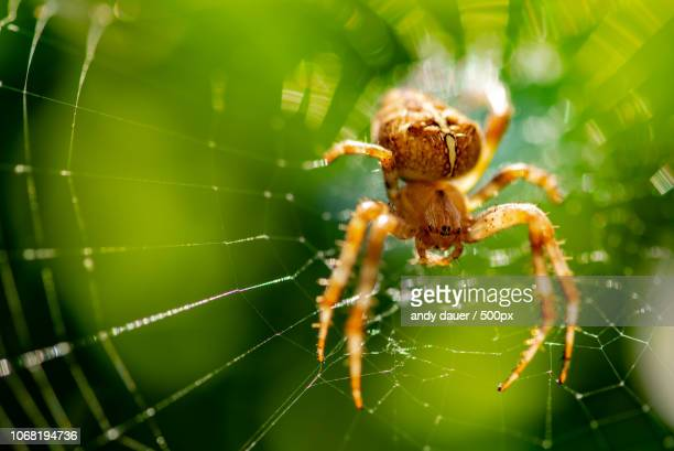 spider on web in extreme close-up - andy dauer stock photos and pictures