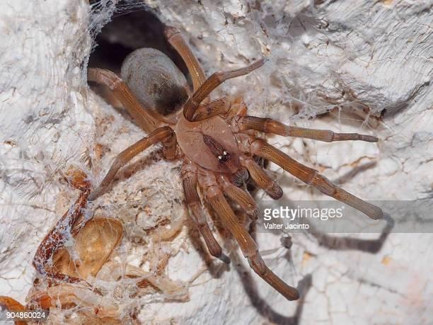 Spider (Loxosceles rufescens)