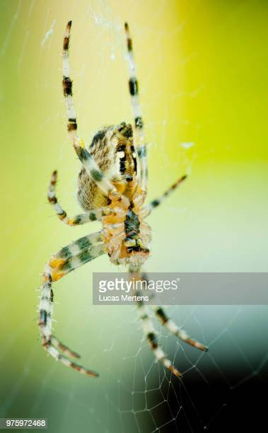 spider - mertens stock pictures, royalty-free photos & images