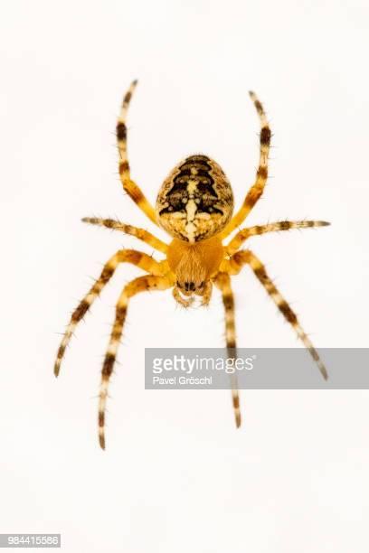 spider - ニワオニグモ ストックフォトと画像
