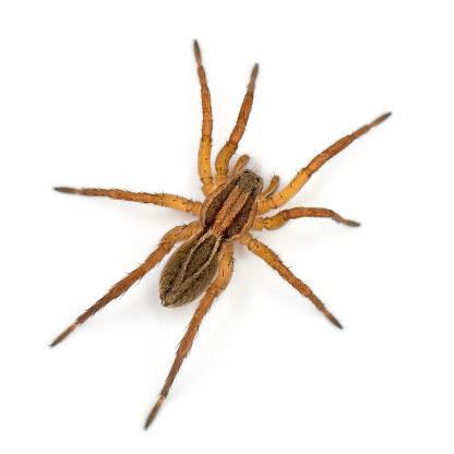 Spider, Pirata piraticus, in front of white background 1069154432