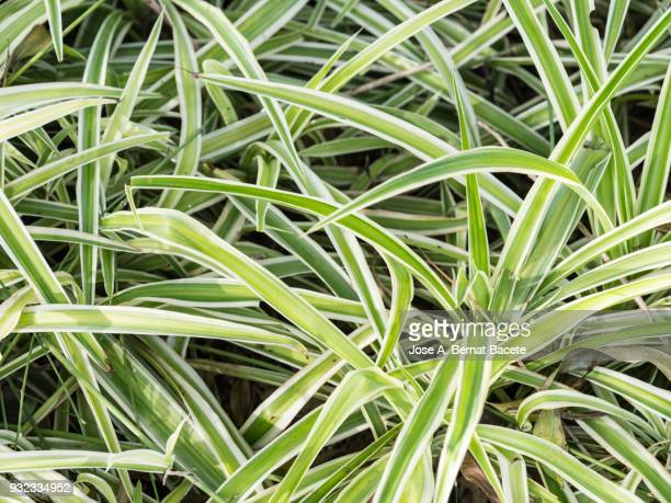 Spider plant (Chlorophytum comosum. Full frame, close-up of leaf green outdoors illuminated by the light of the Sun.
