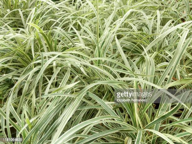 spider plant (chlorophytum comosum), close-up - bicolore colore foto e immagini stock
