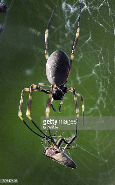 A spider prepares to devour an insect ensnared in its web April 19 2005 in Sydney Australia Spiders all over the city have enjoyed a burst of...