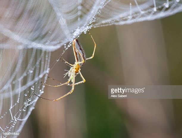 a spider rests on a web with morning dew. - alex saberi photos et images de collection