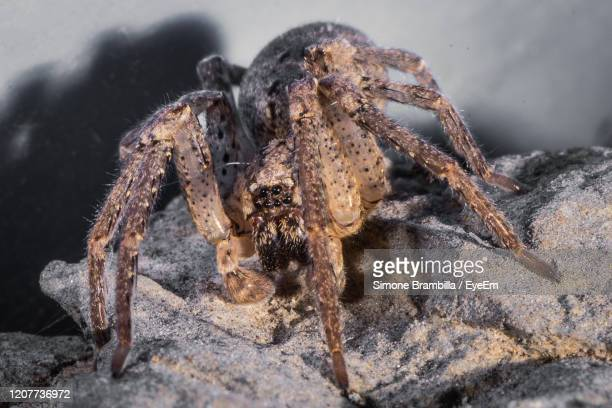 spider species tegenaria as the barn funnel weaver in north america and domestic greater in europe - spider rock stock pictures, royalty-free photos & images