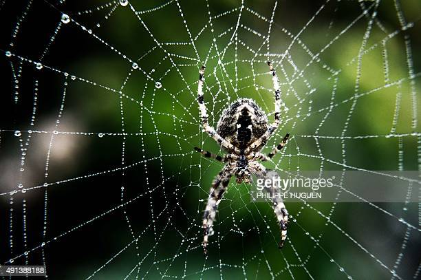 A spider stands on its web on October 4 2015 in Godewaersvelde Northern France AFP PHOTO / PHILIPPE HUGUEN