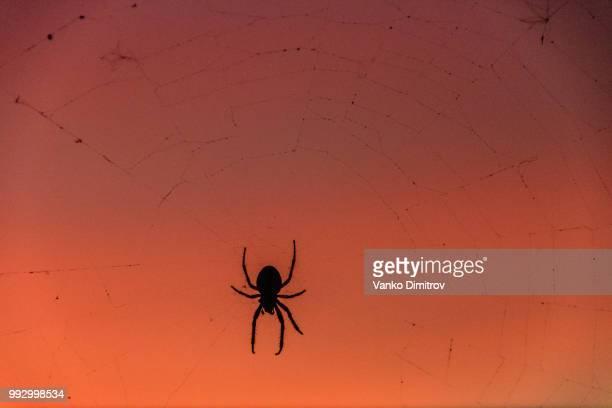Spider Sunset