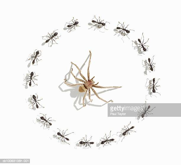 Spider surrounded by ants (Eciton quadrigtume), overhead view (Digital Composite)