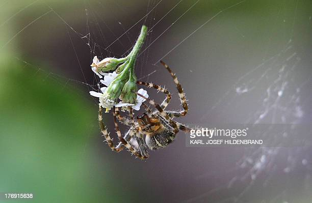A spider touches a blossom caught up in its net on August 18 2013 near Oberstdorf southern Germany AFP PHOTO / KARLJOSEF HILDENBRAND / GERMANY OUT