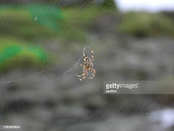 spider waiting (araneus diadematus) - ニワオニグモ ストックフォトと画像