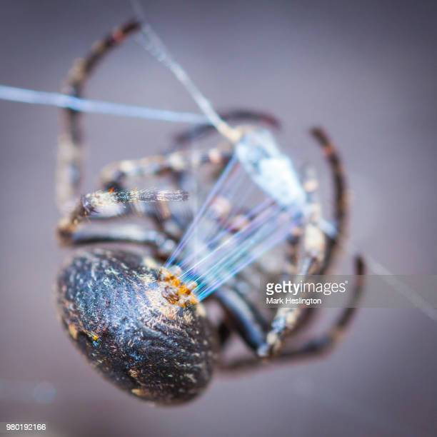 spider weaving - spider silk stock photos and pictures