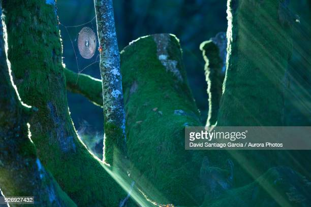Spider web hanging on moss-covered forest tree, Bilbao, Bizkaia, Spain