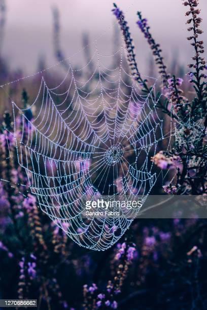 spider web heather sunrise - tierbauten stock-fotos und bilder