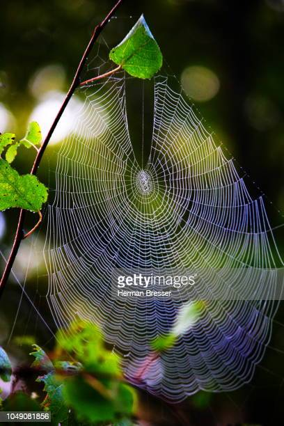 spider web - vector stock pictures, royalty-free photos & images