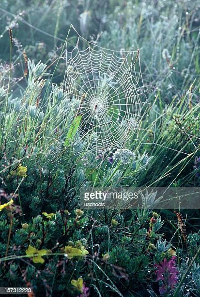 Spider Web con rocío de la mañana