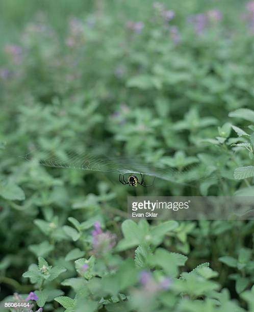 spider with web on catnip - catmint stock pictures, royalty-free photos & images