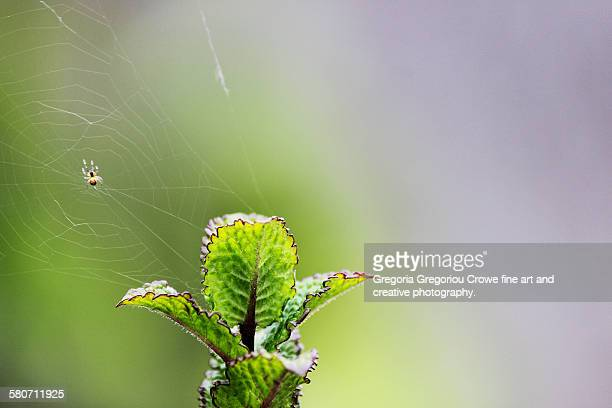 spider with web on mint plant - gregoria gregoriou crowe fine art and creative photography. stock photos and pictures