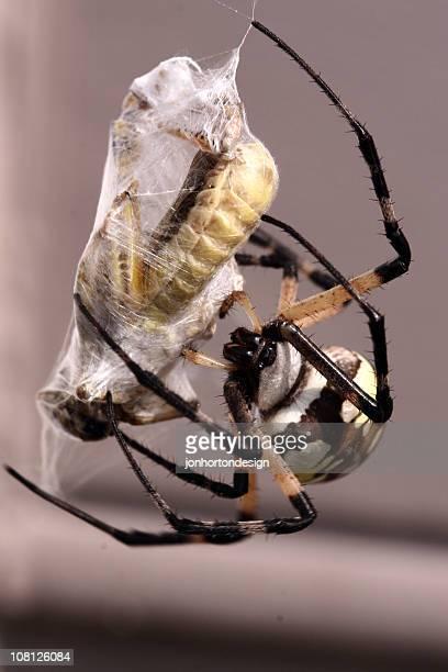 Aranha enrolar presa na Web