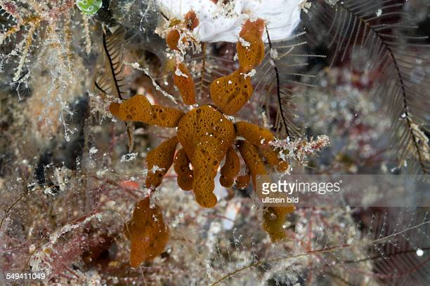 Spidercrab camouflaged with Sponges Majidae Lembeh Strait North Sulawesi Indonesia