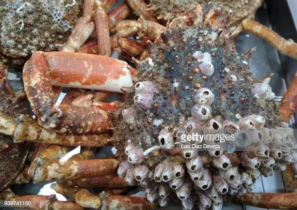 spider-crab full of barnacles in him shell - spider crab stock photos and pictures