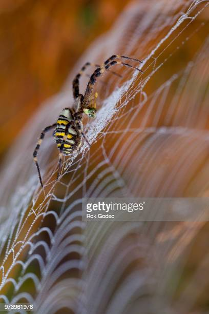 spider's breakfast - ニワオニグモ ストックフォトと画像
