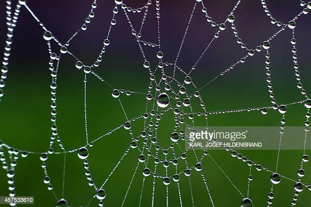 A spider's net is pictured on October 19 2014 in Wuerzburg Germany AFP PHOTO / DPA / KARLJOSEF HILDENBRAND /GERMANY OUT