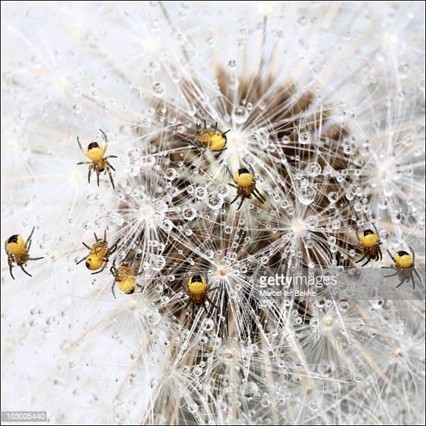 Spiders on dandelion
