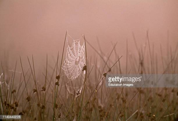 Spiders Web covered in dew on autumnal morning Kent UK