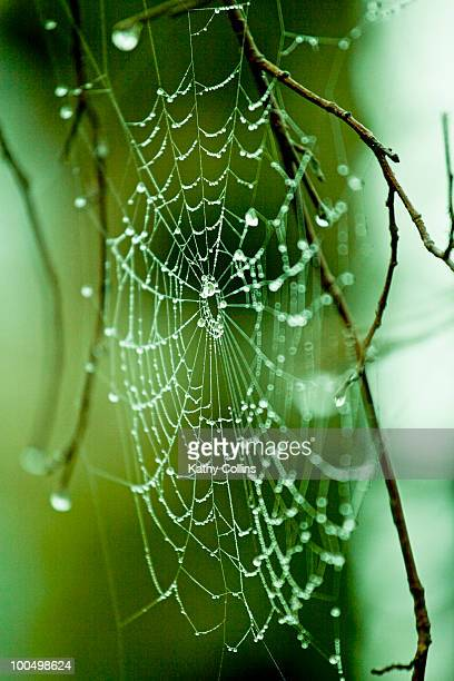 spiders web hung with dewdrops - kathy shower stock pictures, royalty-free photos & images