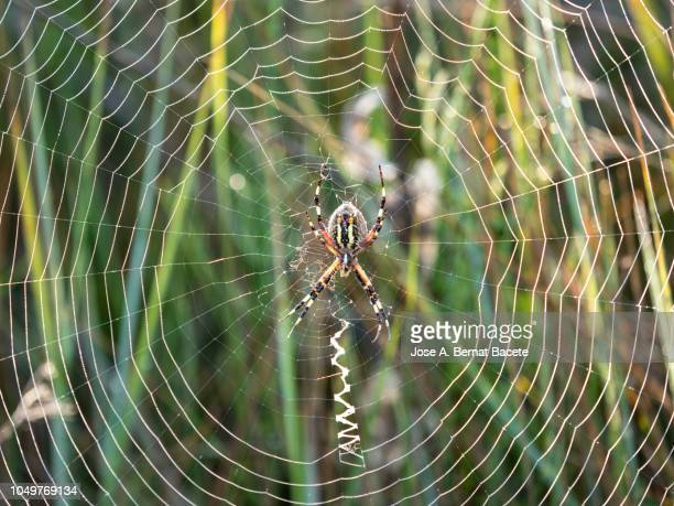 Spiderweb and spider in the grass, of the species Wasp spider (Argiope bruennichi), illuminated by the light of the Sun with water drops after the rain. Spain.