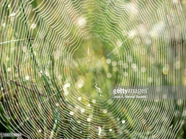 Spiderweb of the species Wasp spider (Argiope bruennichi), illuminated by the light of the Sun with water drops after the rain. Spain.