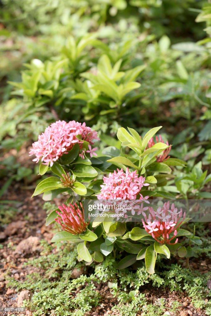 Spike flower or pink ixora flowers bloom on tree in the public spike flower or pink ixora flowers bloom on tree in the public gardentropical plants mightylinksfo