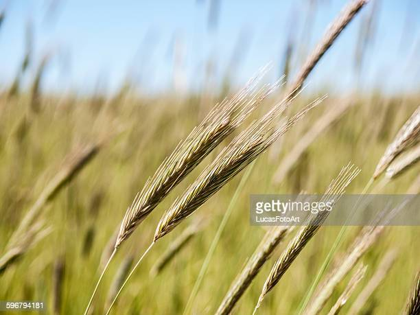 Spike of barley