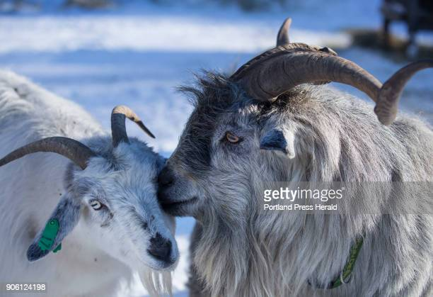 Spike one of the bucks nuzzles another cashmere goat at Apple Creek Farm in Bowdoinham