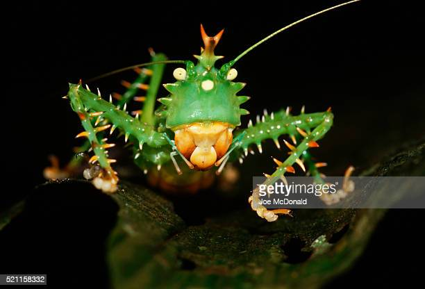 Spike-Headed Katydid in Defensive Pose