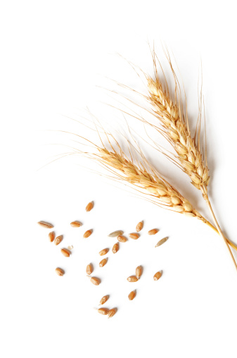 spikelets and grains of wheat on a white background 153710963