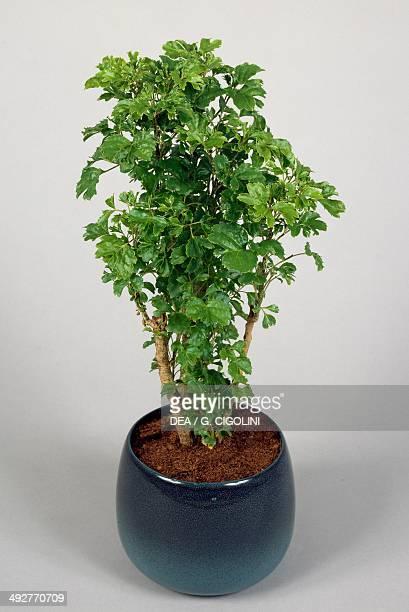 Spikenard Araliaceae