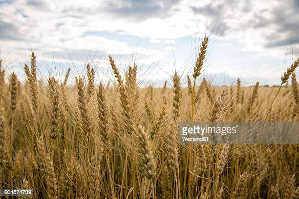 Spikes of a wheat field