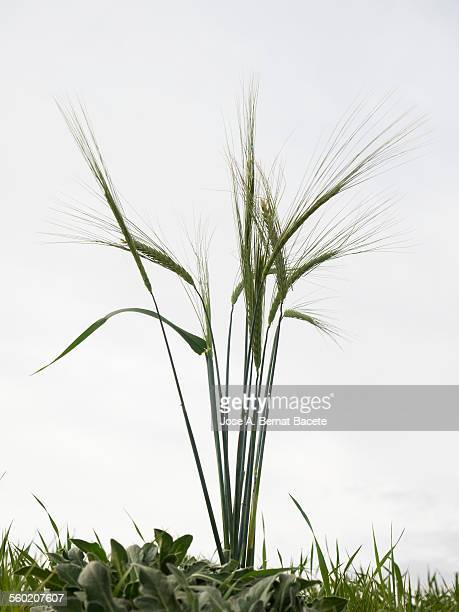 Spikes of green wheat