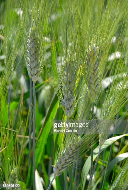 Spikes of wheat in the field in spring