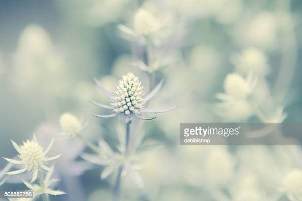 Spikey Flower Plants - Sea Holly Growing In Summer Garden