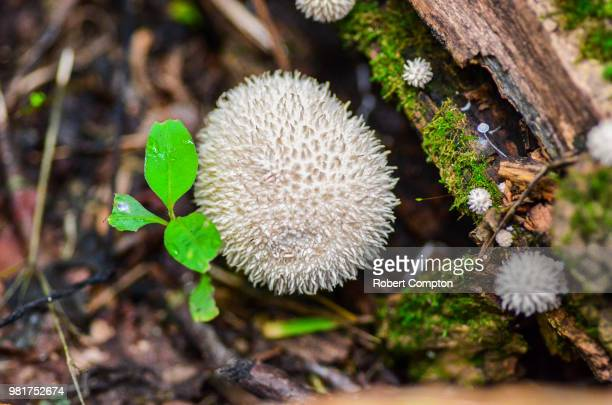 spiky hedgehog - forrest compton stock pictures, royalty-free photos & images