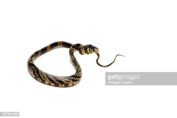 spilotes pullatus (caninana, chicken snake, yellow rat snake) - chicken snake stock pictures, royalty-free photos & images